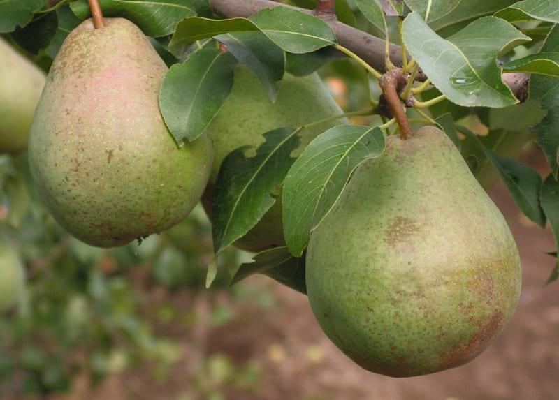 Поздние сорта груш снимают в сентябре и октябре
