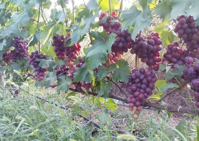 У винограда Низина высокие показатели плодоносности побегов