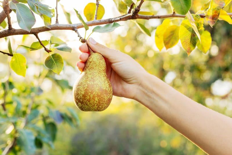 В зависимости от региона и климата, сроки сбора плодов могут отличаться