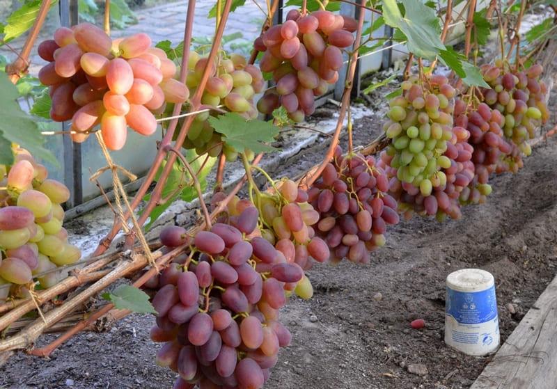 В зрелом виде грозди очень крупные, канонической формы