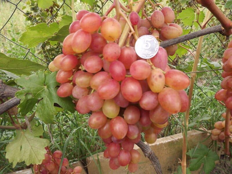 Первые грозди винограда Румба могут весить до 1,1-1,2 кг