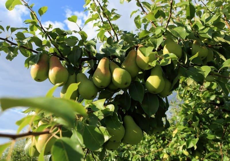 Чтобы определить стадию зрелости, за плодами следует регулярно наблюдать
