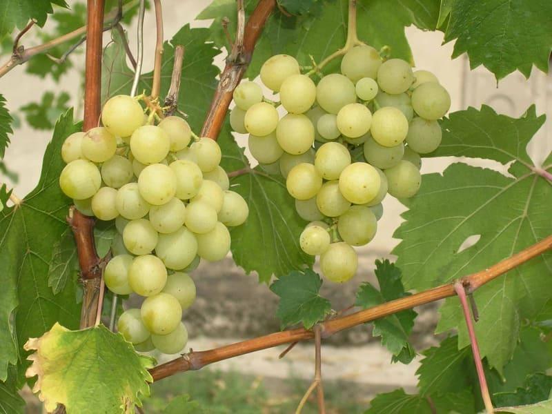 Плоды этого сорта отличаются приятным сладким вкусом