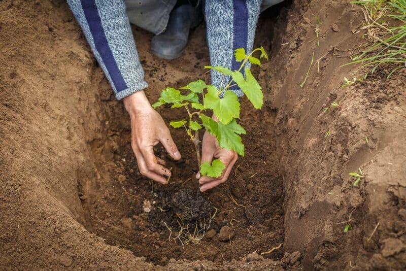 Румба неприхотлива к видам почв