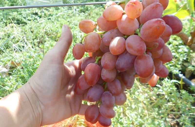 Вес ягод достигает 18-20 г