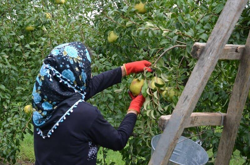 Снимать урожай лучше в перчатках, чтобы не повредить верхний восковой слой