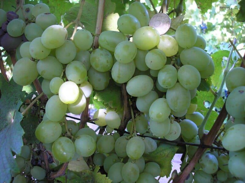 Спелые грозди могут храниться в холодильнике до полугода