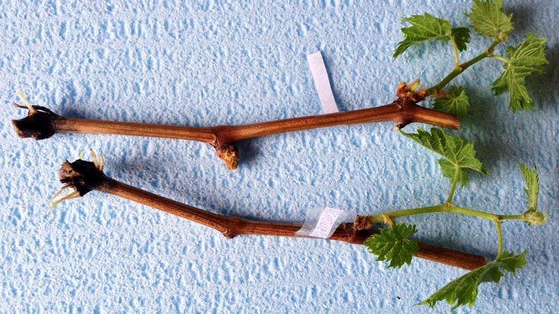 Черенки винограда легко укореняются и практически не подвержены заболеваниям