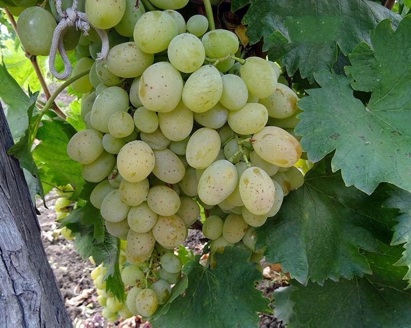 Форма гроздей винограда цилиндрическая, с вытянутой нижней частью