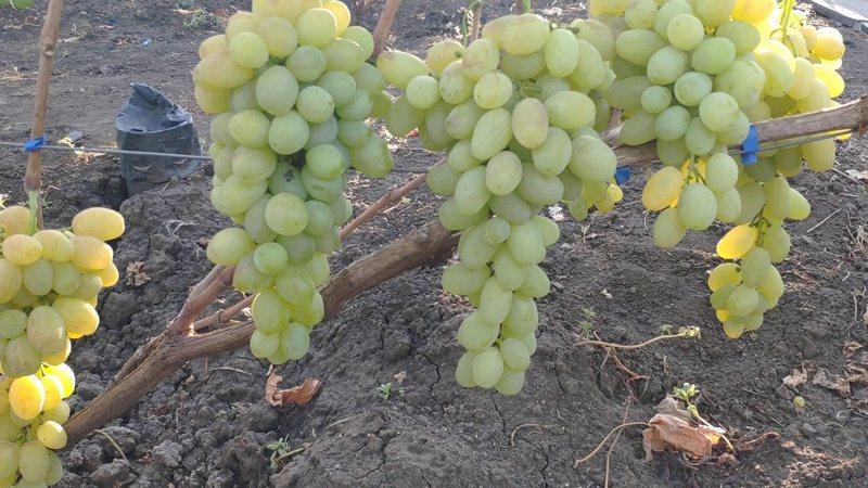 Гибрид славится огромными красивыми гроздьями с вкусными ягодами
