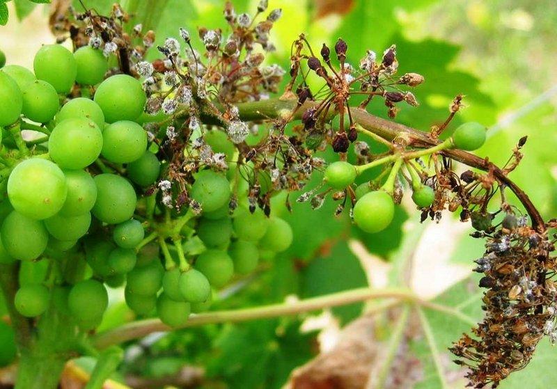 Милдью часто поражает виноград, произрастающий в о влажных регионах