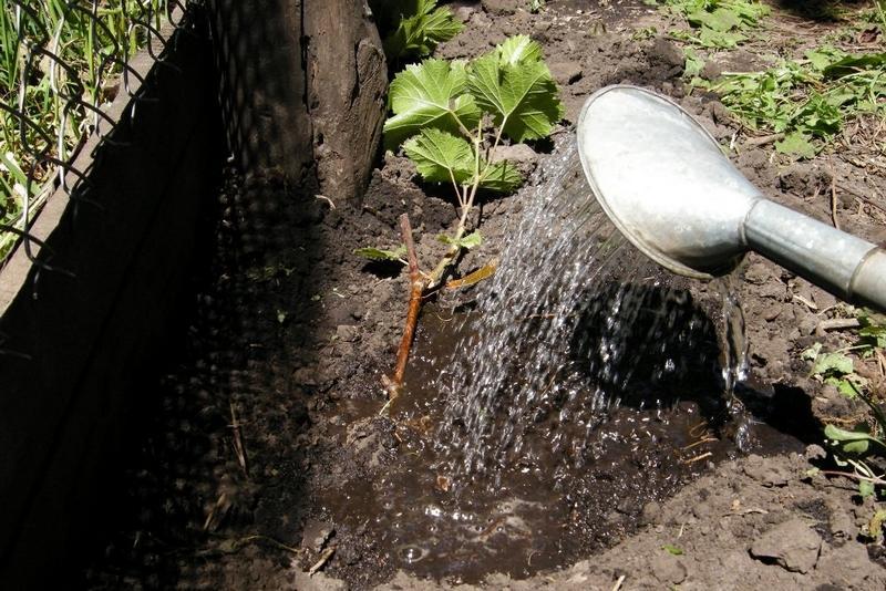 Молодые саженцы винограда поливают водой каждые 14 дней