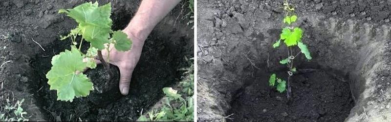 Саженец помещают в лунку, стараясь не повредить корневую систему, присыпают землей и слегка утрамбовывают