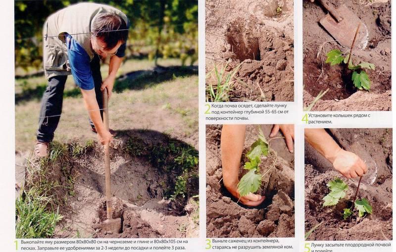 Технология посадки черенков винограда