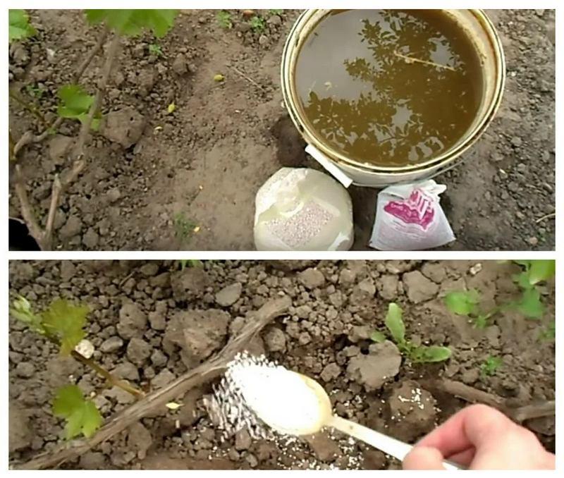 В качестве подкормки рекомендуется использовать органику и минеральные удобрения
