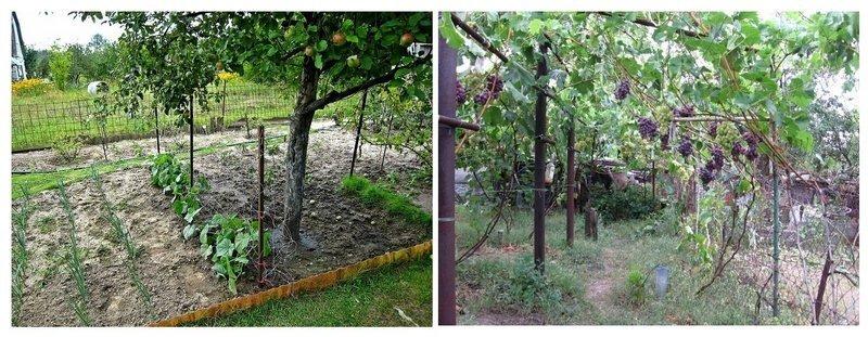 Виноград можно садить рядом с плодовыми деревьями