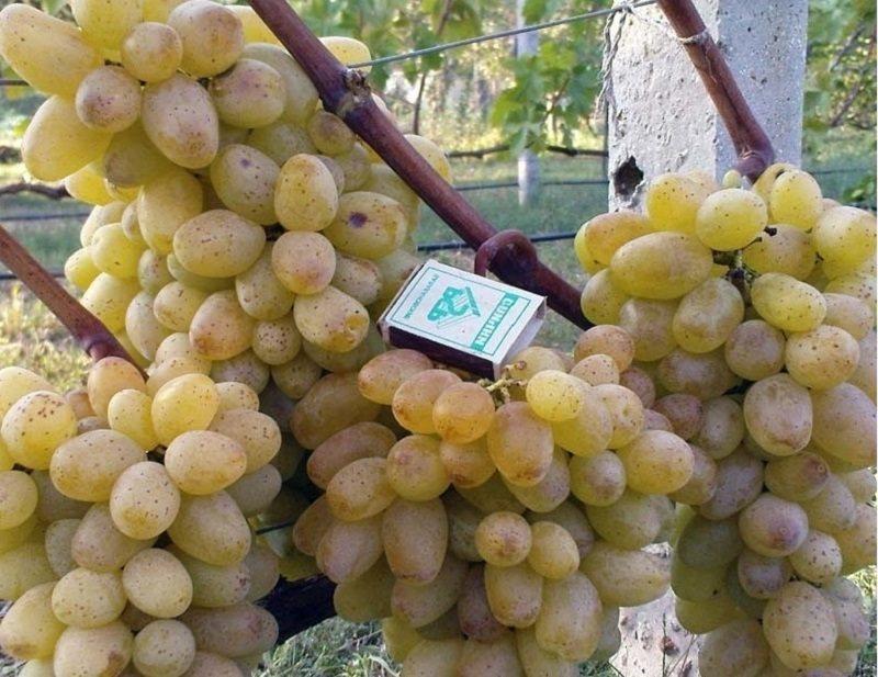 Виноград обладает отличным вкусом, выносливостью к некоторым заболеваниям и массой других достоинств
