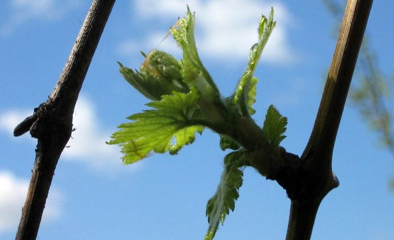 Виноградные почки начинают распускаться после того, как температура воздуха достигнет +10 °С, +12 °С