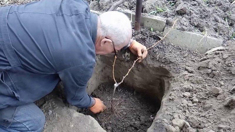 Высаживать саженцы винограда можно весной и осенью