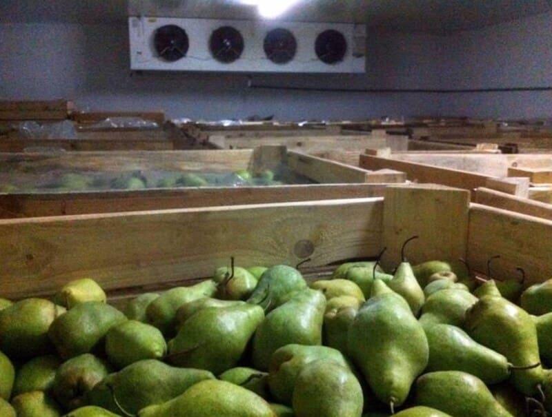 Перед тем как поместить фрукты в подвал, проводят дезинфекцию помещения