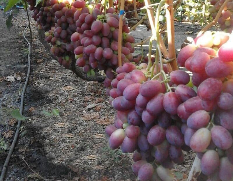 Виноград трескается при резких перепадах уровня влаги