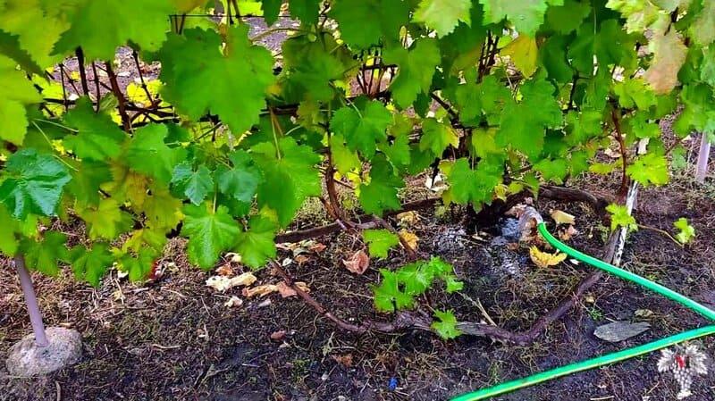 Рекомендуется поливать растение каждые две недели в период и завязывания ягод
