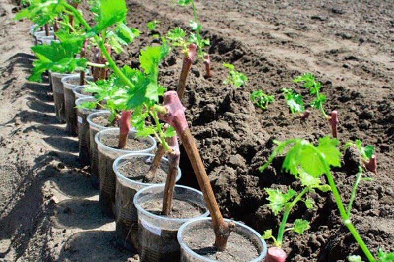 Черенки и саженцы винограда Румба очень хорошо и быстро приживаются