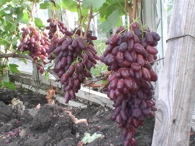 Срок созревания урожая зависит от региона выращивания винограда