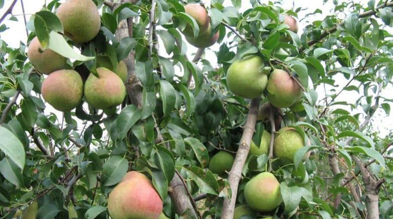 Деревья компактного размера, в высоту вырастают до 3-3,5 метров