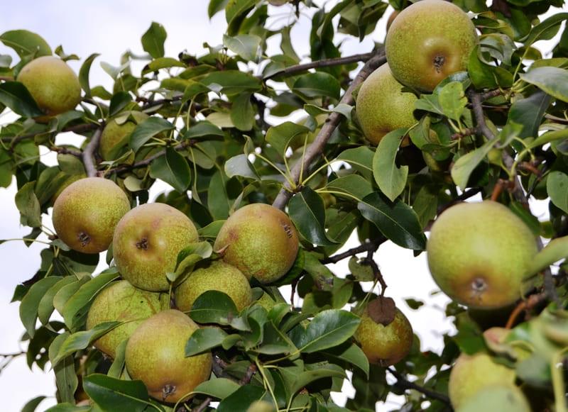 Урожай представлен плодами средним весом около 120 г