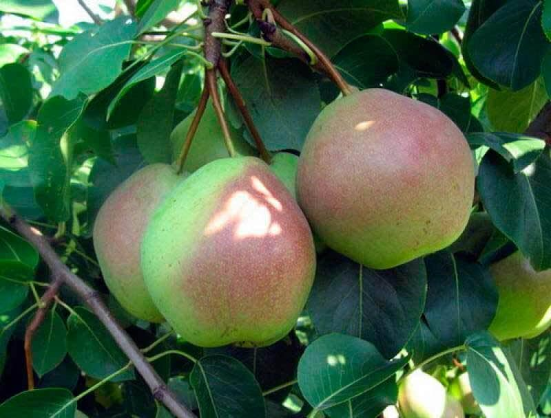 У груши Россошанской стабильное плодоношение и высокая урожайность