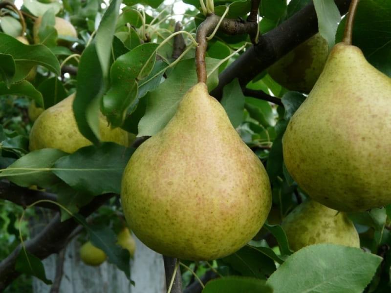 Плоды не очень большие, обычно их масса входит в пределы от 130 до 150 г