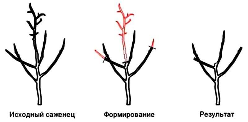 Обрезка саженцев после посадки облегчает состояние корневой системы