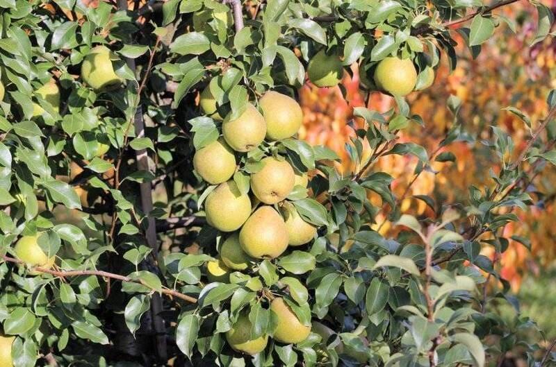 С одного молодого дерева собирают до 40 кг урожая