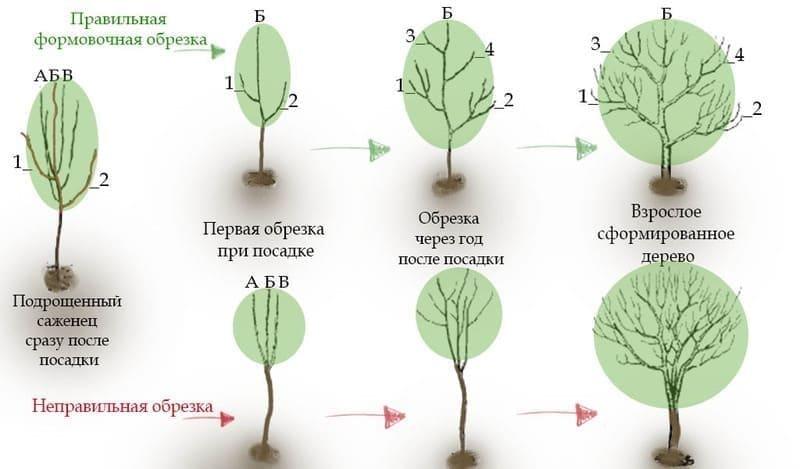 Схема правильной и неправильной формирующей обрезки груши