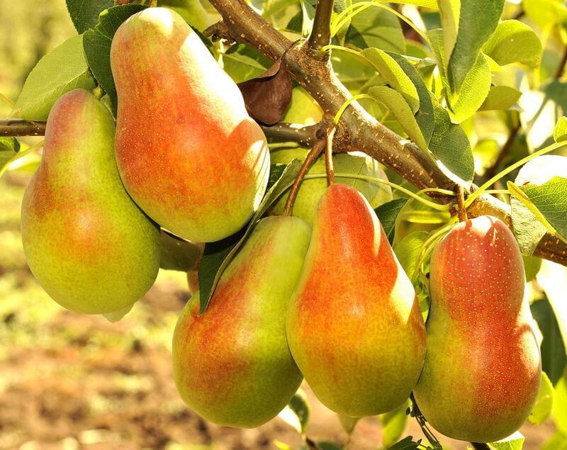 У данного сорта высокие показатели урожайности и скороплодность