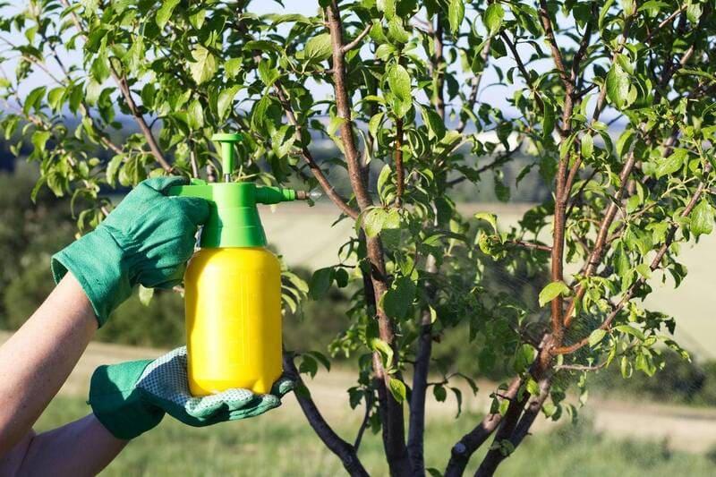 Для профилактики необходимо опрыскивать деревья химическими растворами