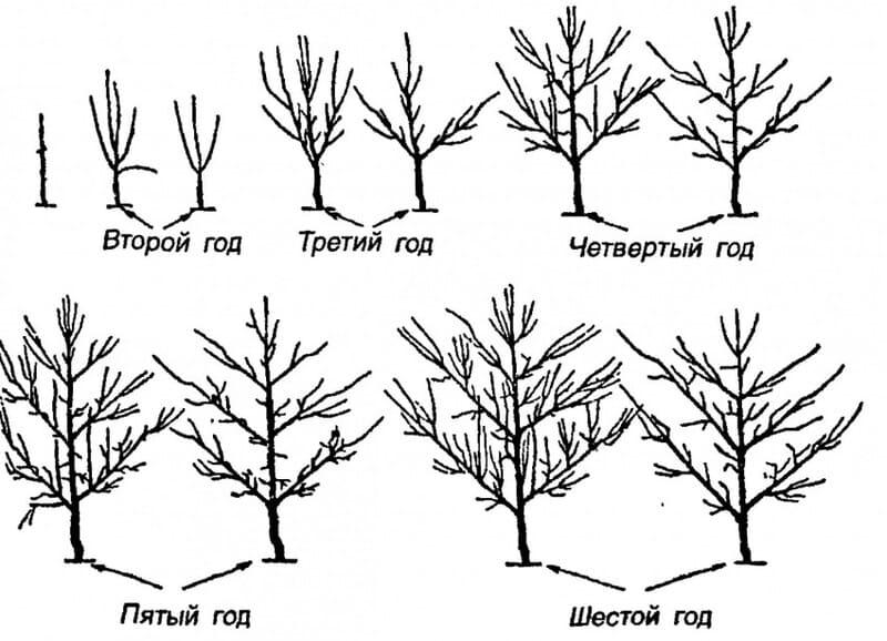 Схема обрезки 2х летней - 6 летней груши