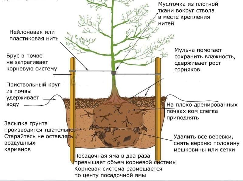 Правильная схема посадки саженца груши