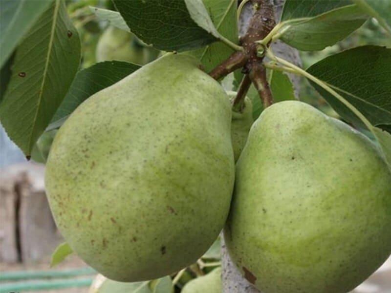 Сорт Бере Арданпон отличается невероятным вкусом спелых плодов
