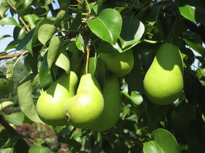 Плодоношение – смешанного типа, урожай созревает в начале осени