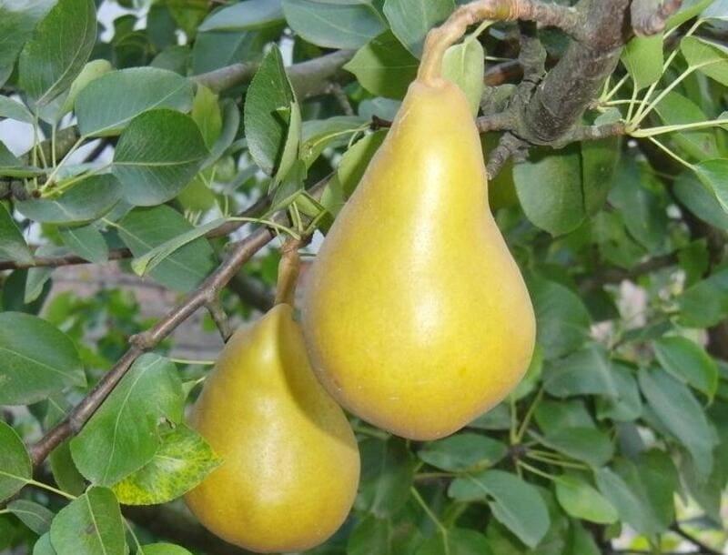 Плоды сочные, сладкие, окрашены в желтый цвет