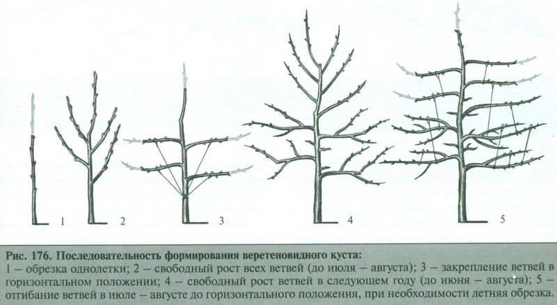 Схема формирования веретеновидной кроны у груши