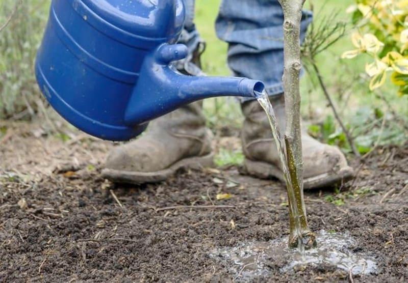 Под каждое дерево вносят 20-30 л воды на каждый год жизни культуры