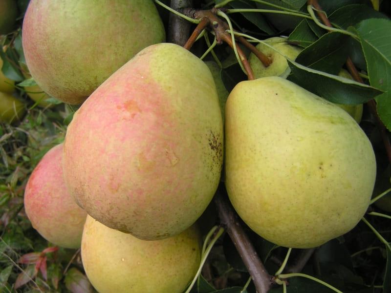 Со взрослого дерева можно собирать до 25 кг спелых груш сорта Велес