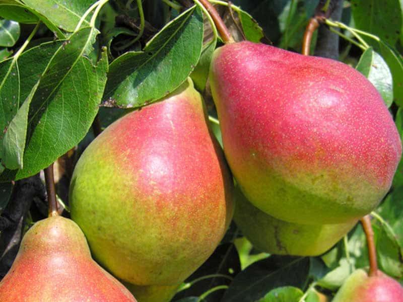 Плоды правильной грушевидной формы, окрашены в желто-зеленый цвет