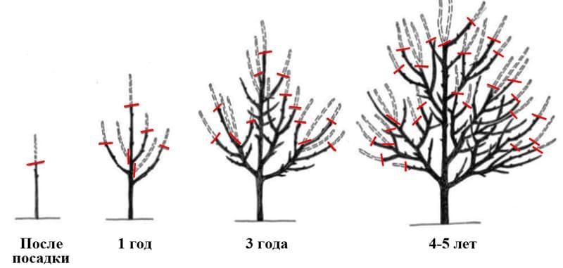 Схема формирования разреженно-ярусной формы груши