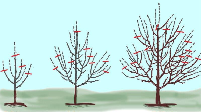 Схема обрезки груши весной