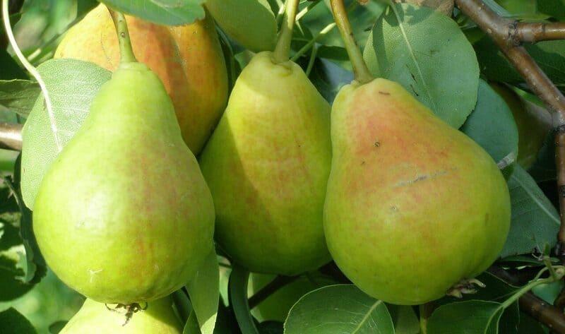 Плодоношение сорта Лель – регулярное, ежегодное, стабильное