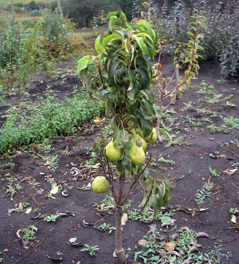 Плодоносить груша Павловская начинает со второго года после посадки